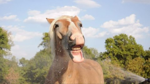 Humorous video of a Belgian Draft horse playing with water with his mouth