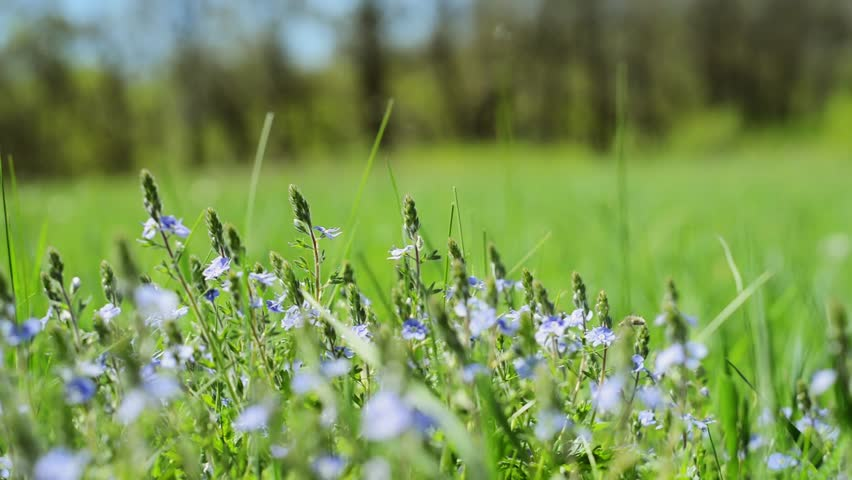 Close up blue flowers and out of focus green meadow background. Veronica chamaedrys. Veronica Persica Flowers, Macro, Lawn