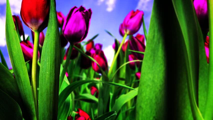 Traveling Through Tulips