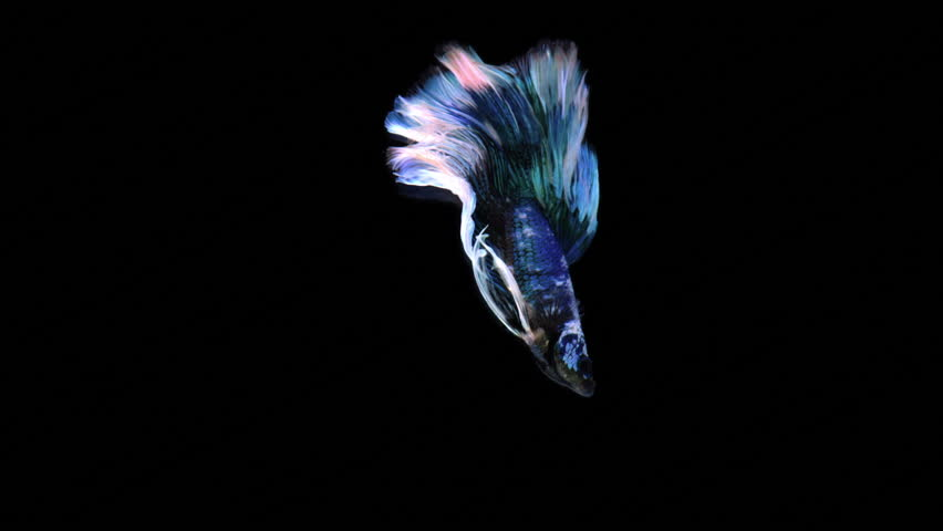 Half-moon fighting fish in blue green. Siamese Fighting Fish Gallery . Conservation of the fighting fish species.