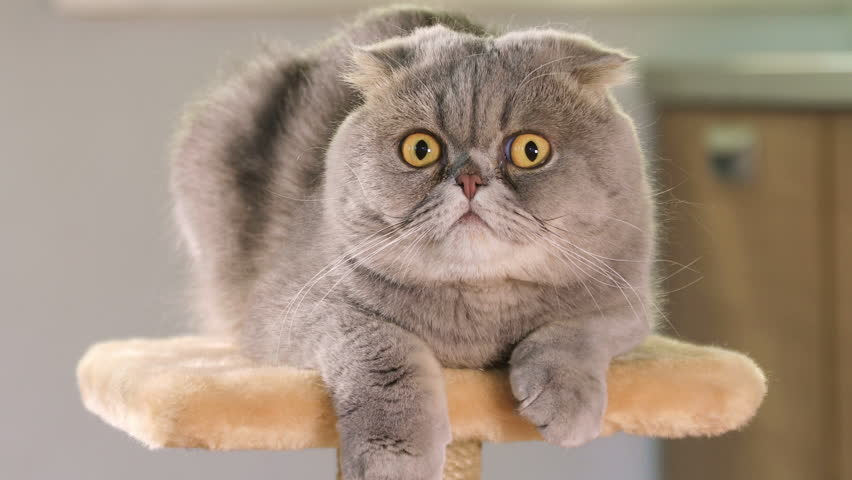 Animal portrait of Scottish Fold cat with a wide range of emotions