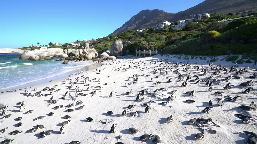 African Penguin Colony at the Beach in Cape Town, South Africa. Boulders Beach is a sheltered beach made up of inlets between granite boulders, from which the name originated.