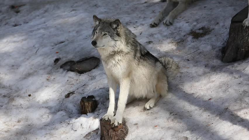 timber wolf pack panning
