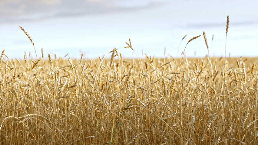 Golden wheat fields is ripe and ready for harvest
