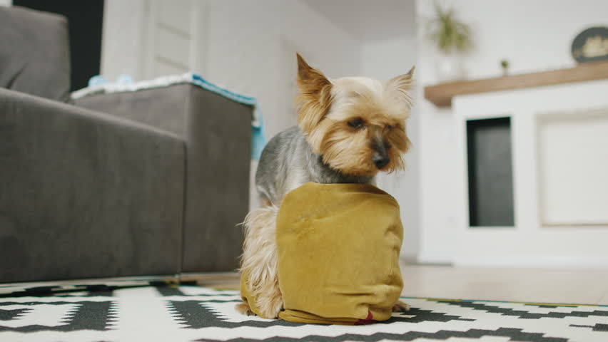Funny little dog plays with a pillow