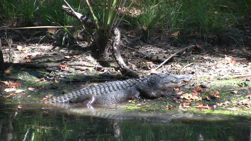 Can alligators walk backwards