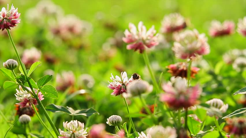 Bee and Clover #2717036