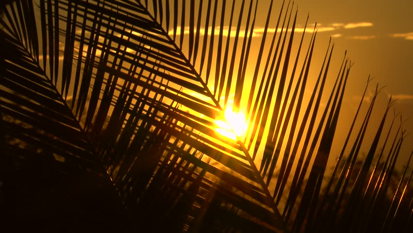 Bright yellow sun sets behind giant silhouetted palm tree leaf. 1080p