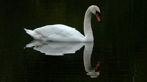 Mute swan swimming in dark green water, slow motion