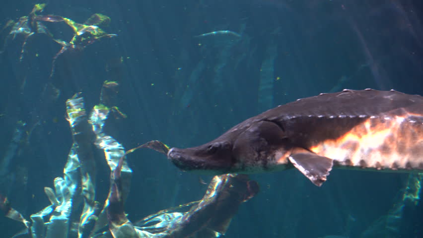 Cinematic Underwater Shot of Atlantic sturgeon (Scientific name: Acipenser oxyrinchus - Phylum: Chordata - Class: Osteichthyes (bony fish) - Order: Acipenseriformes - Family: Acipenseridae) | Shutterstock HD Video #27199162