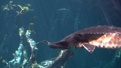 Cinematic Underwater Shot of Atlantic sturgeon (Scientific name: Acipenser oxyrinchus - Phylum: Chordata - Class: Osteichthyes (bony fish) - Order: Acipenseriformes - Family: Acipenseridae)
