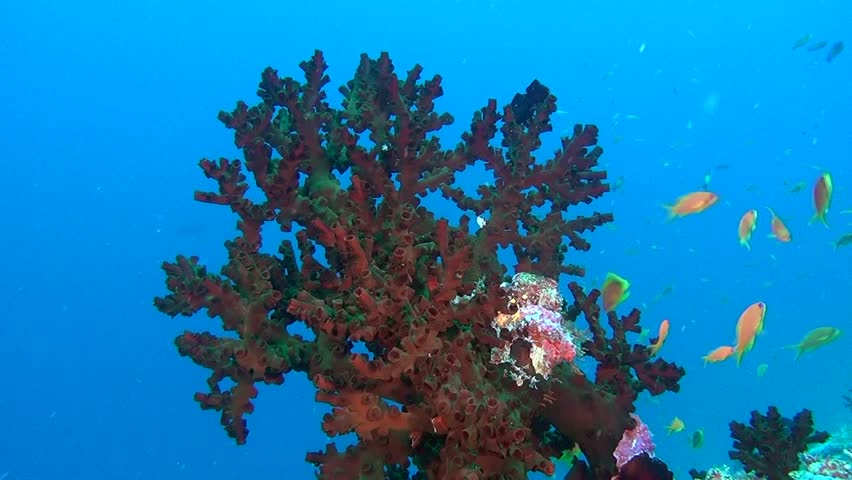 Red corals underwater in sea of Maldives. Swimming in world of colorful beautiful seascape. Aquarium of wild nature. Abyssal relax diving.   Shutterstock HD Video #27201352