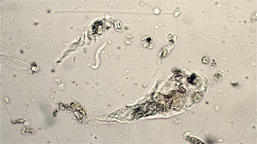 Termite symbiotic Protozoa for cellulose digestion. trichonympha ageiis. microscope viewed at 600x magnification. Eastern subterranean,  Reticulitermes flavipes