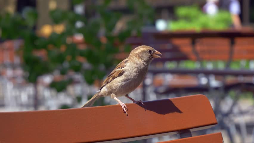 Sparrow sitting on chair of public cafe watching passengers passing by