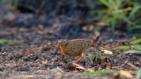 bird (yellow leg button quail) eating termite