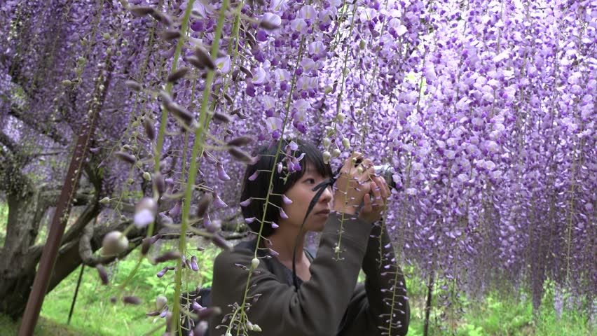 Taiwan woman and Japanese beautiful Wisteria flower