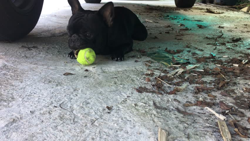 Must see Bulldog Ball Adorable Dog - 1  Image_146558  .jpg