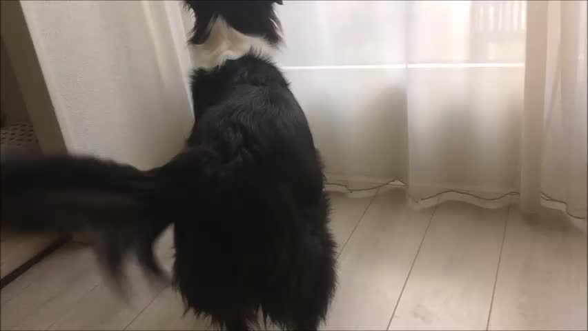 Border Collie dog baking and waving his tail to greet and welcome his boss back home