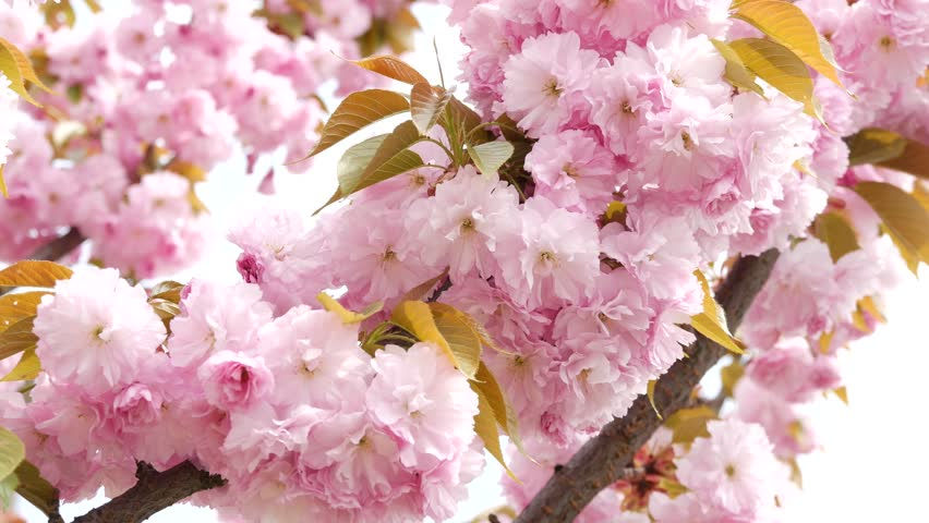 Sakura Spring Flowers Beautiful Nature Stock Footage Video 100