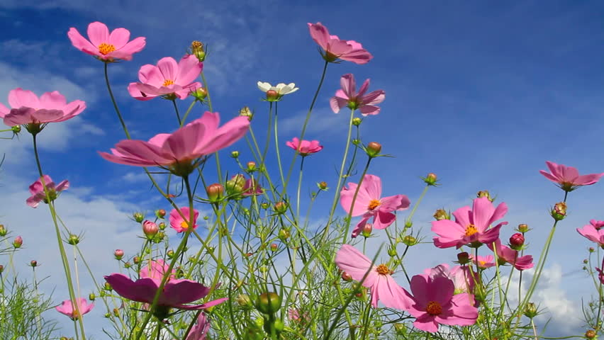 Cosmos flower with blue sky in the background.