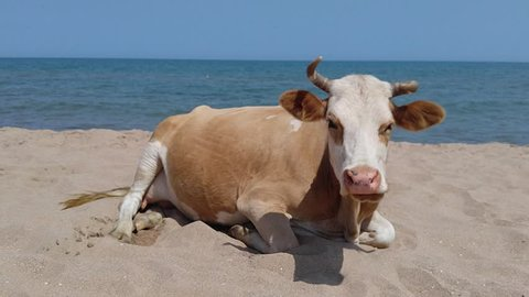 Cow on the sandy beach.
