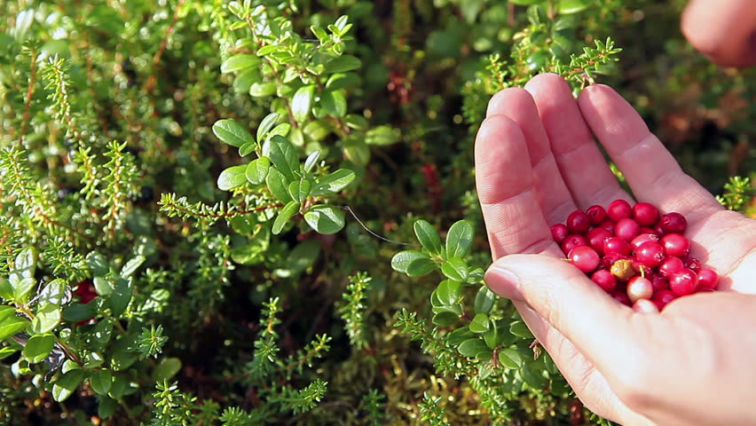 Human hands gathering red cowberries from green brunches