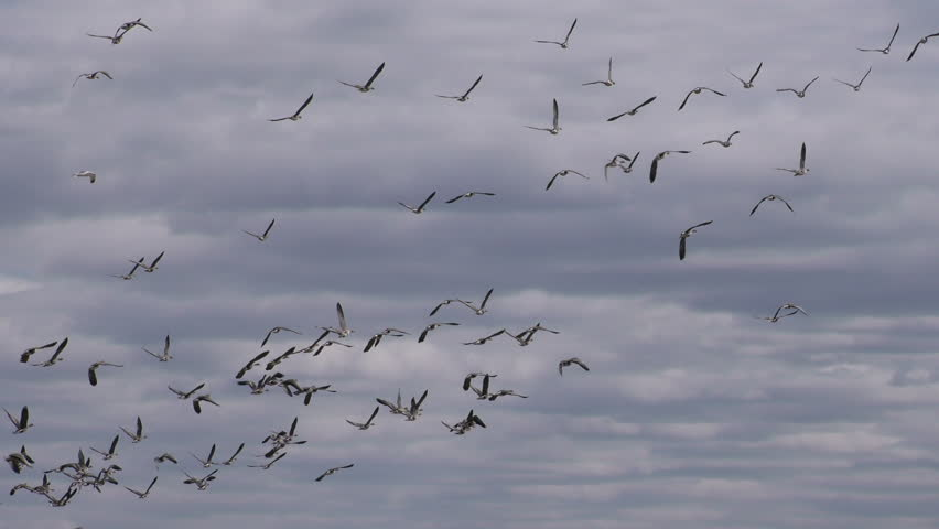 A flock of wild Geese flying in the sky close-up - shoot travel zoom lens. Free flight bird flocks of migrating geese. Migratory birds stayed. Barnacle goose and white-fronted goose.