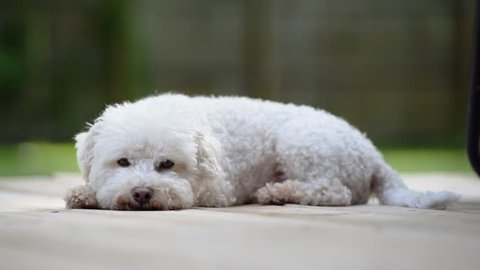 White Bichon Frise on deck lying down