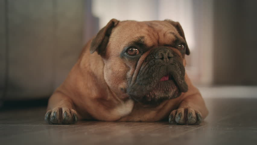Resultado de imagen para bulldog staring