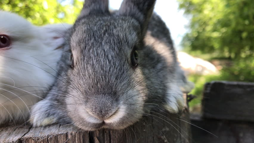 Growing rabbits at its Manor. Individual entrepreneur holding rabbits. Muzzle of a rabbit close-up. Video shot on the iPhone 7 Plus