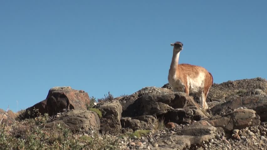 Guanaco lama exotic mammal wild animal in Andes mountains of Patagonia. Pasture of herbivores in wildlife in Tierra del Fuego. #27664402