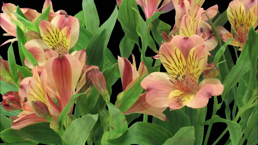 Time-lapse of opening yellow-red Peruvian Lily (Alstroemeria Casablanca) 2a3 in RGB + ALPHA matte format isolated on black background