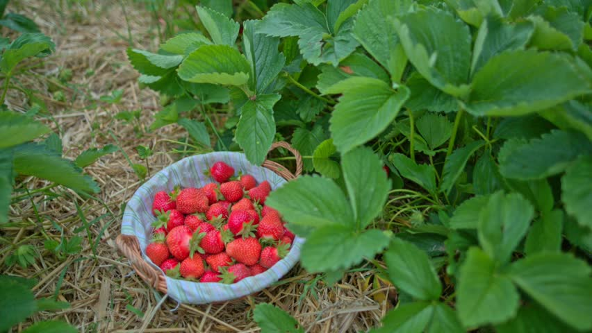 Strawberries Red, Ripe, Collects A Man In The Garden At The Plantation