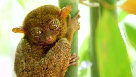 Tarsier monkey in its natural habitat in Bohol, Philippines, 4K close up shot.