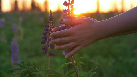 Woman's hands touching purple lupine flowers. Golden sunset background.