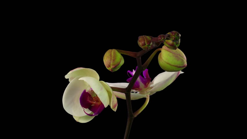 Time-lapse of opening white orchid 9b3 in RGB + ALPHA matte format isolated on black background