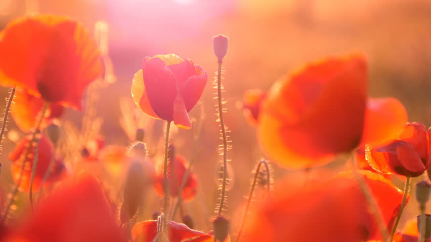 Impressive view on a red poppy fieldcovered with hundreds of beautiful flowers under the rays of a splendid sunrirse in Ukraine in summer.The slight wind waves the flowers in an amazing way