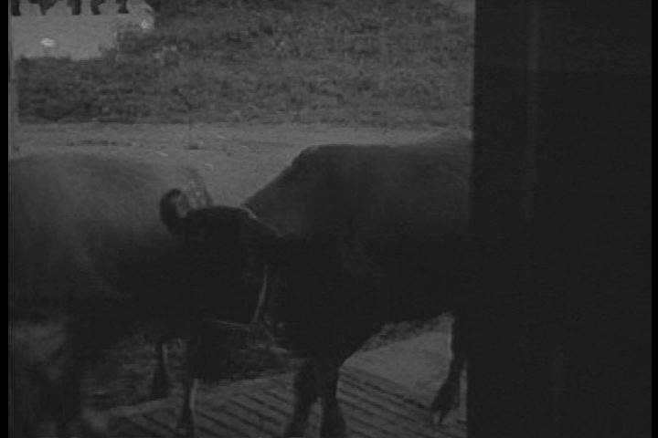 1940s: A reenactment of Gail Borden fighting for clean conditions for cows in the 1850s, and cows in the 1940s on a milking farm. | Shutterstock HD Video #27859549