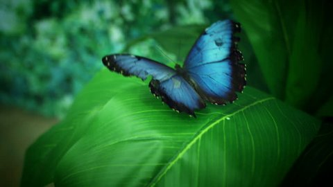 4k Close-up Butterfly Blue Morpho Flapping Wings