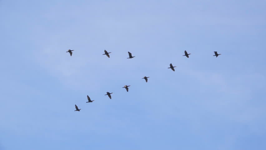 how do birds know how to fly in formation