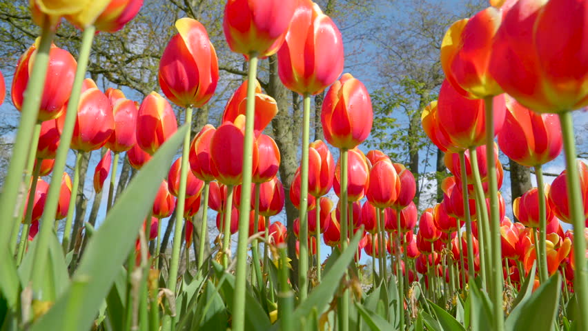Keukenhof Lisse Netherland April 28 2017: The closer look of the green stalk of the flowers in Keukenhof where the biggest flwoer garden in Netherland - 4K stock video clip