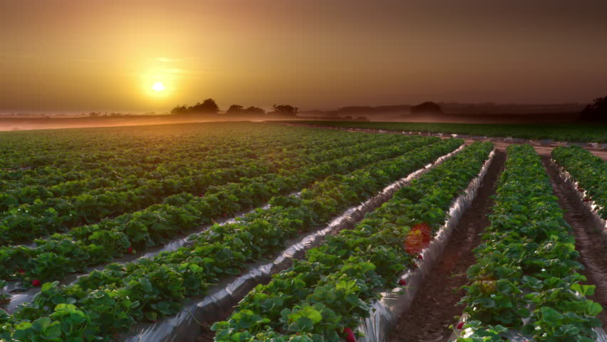 Stunning shot of Salinas Valley California farmlands during beautiful sunset or sunrise with rows of fresh green crops growing in fields. 4K