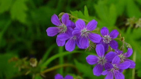 Wild Cranesbill. Geranium pratense close up footage shooting static camera.