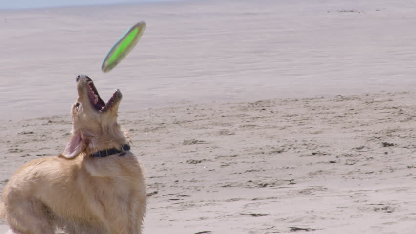 Dog misses catching a frisbee at the beach. Super slow motion.
