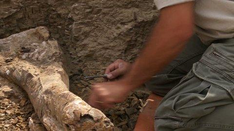 Dinosaur bone being excavated