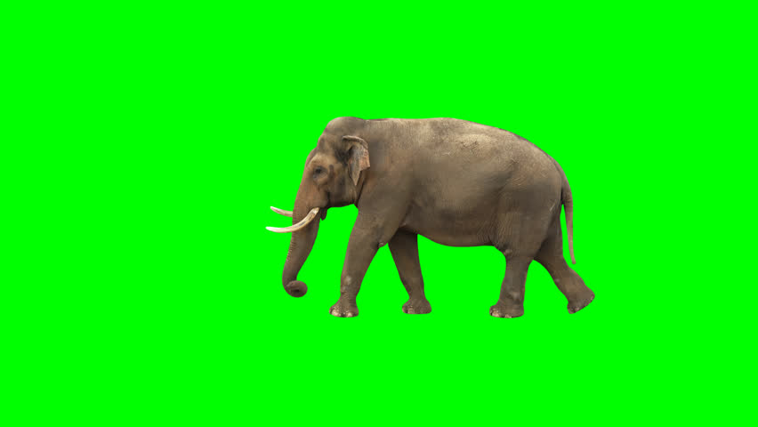 Indian elephant walking across the frame on green screen, real shot, isolated with chroma key, perfect for digital composition, cinema, 3d mapping