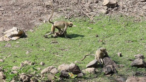 Wild langur monkey family in a national park near Ajanta caves in India