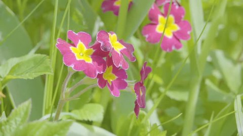 Primroses Meaning Stock Video Footage - 4K and HD Video