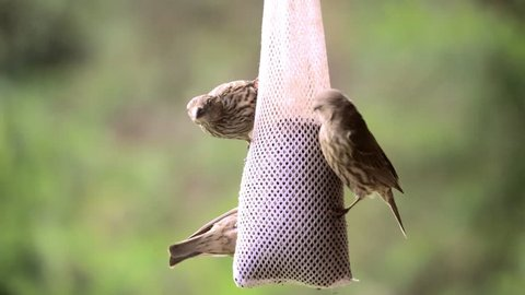 Male and female house finches feed on thistle from a sock