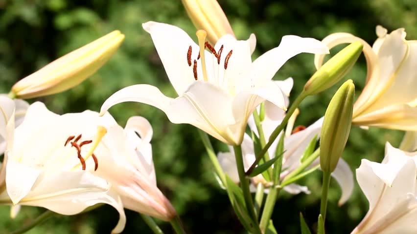 Beautiful multicolored graceful lily flowers in garden decoration.   Shutterstock HD Video #28375642